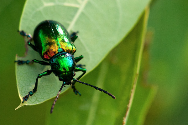 Iridescent Bug