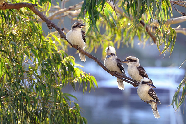 Kookaburras in a tree