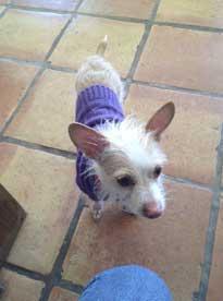 Dog in a purple turtleneck sweater