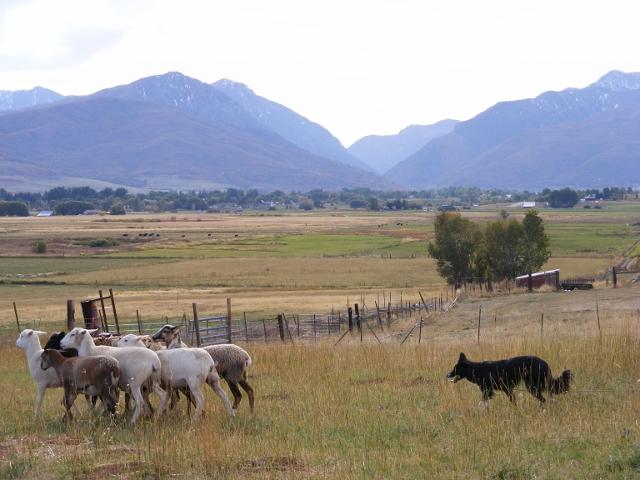 Zin herding in the uintahs of Utah