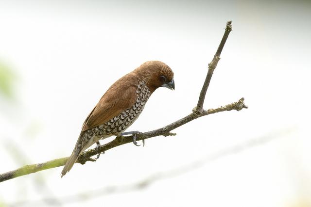 A Nutmeg Mannikin bird. Photo by Noel Reynolds.