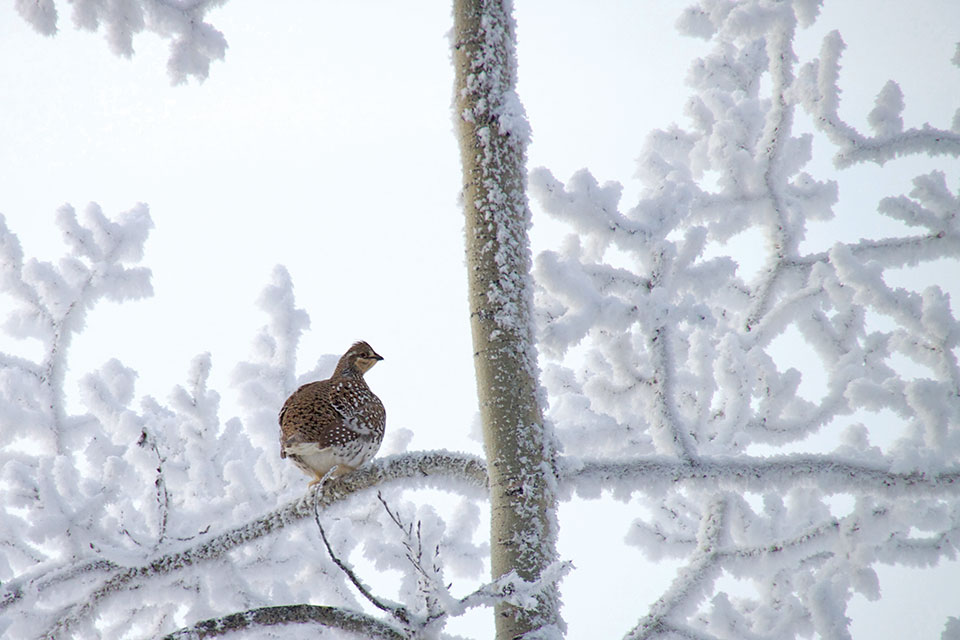 Grouse on a branch in winter
