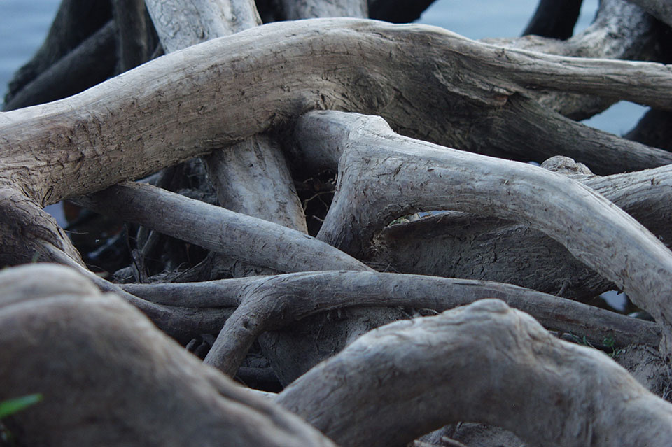 Overlapping tree roots. Photo: Kelly Deluded