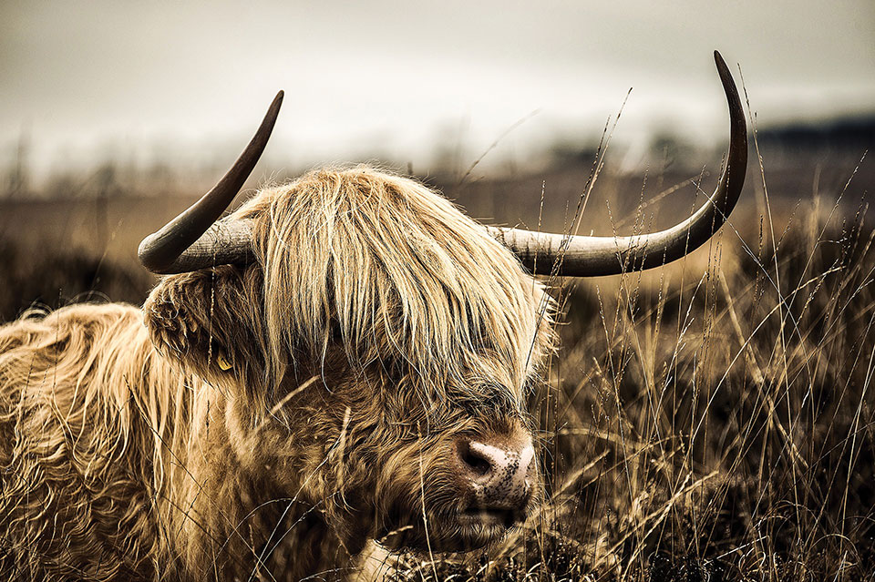 Some kind of crazy yak looking beast