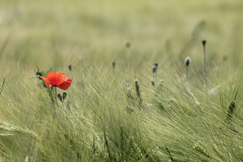 A single orange flower in a fields of dense grasses