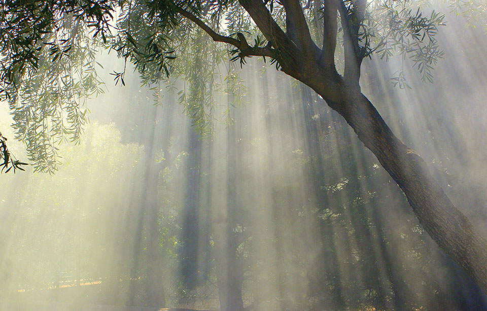 Light streaming down through the canopy of an olive tree