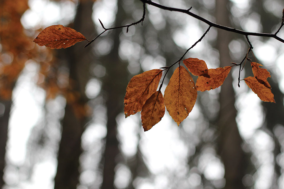 A closeup of browned leaves on a tree branch