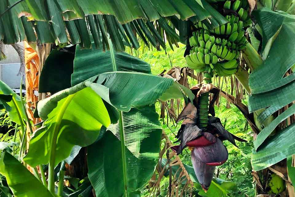 A dense tangle of tropical forest where bananas hang from the tree