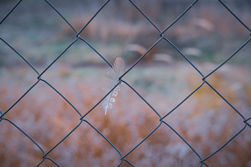 A closeup photograph of a feather, caught in a chainlink fence