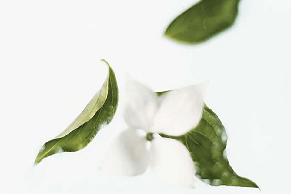 A delicate white flower with curled green leaves against a white background