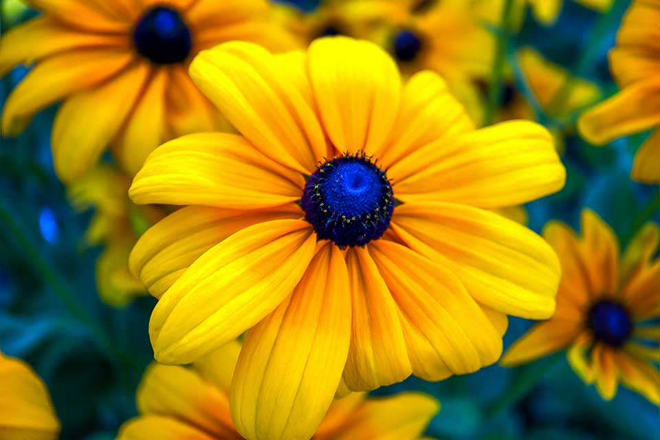 A photograph of a bright yellow flower with a florescent blue center