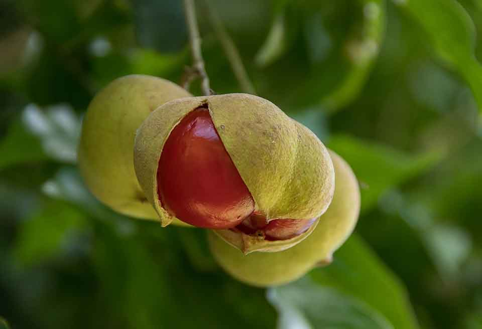 The pods of a tamarind are bursting open to reveal to deep red seed within