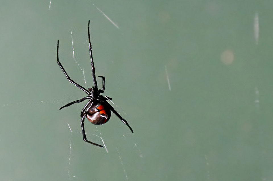 A black widow spider hovers on a near-invisible web