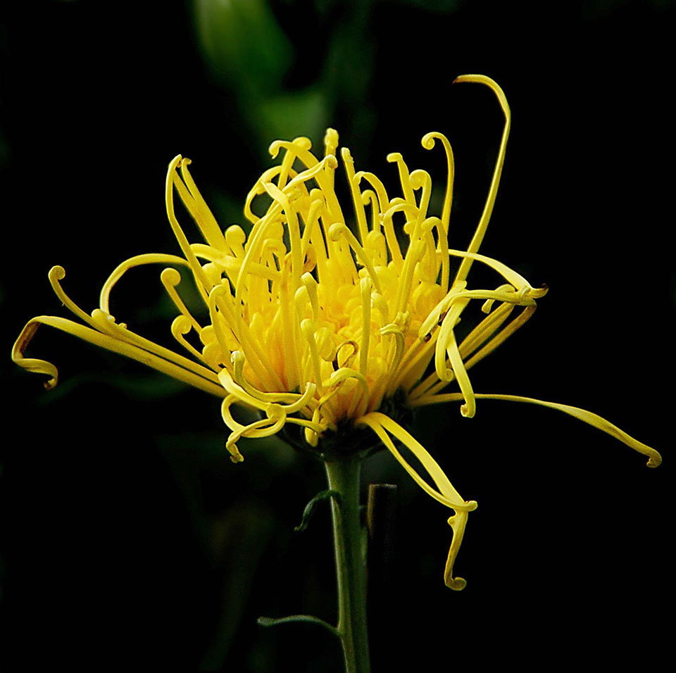 i was born out of the chrysanthemums an interview ming di jack wolf yellow spider mum 2009