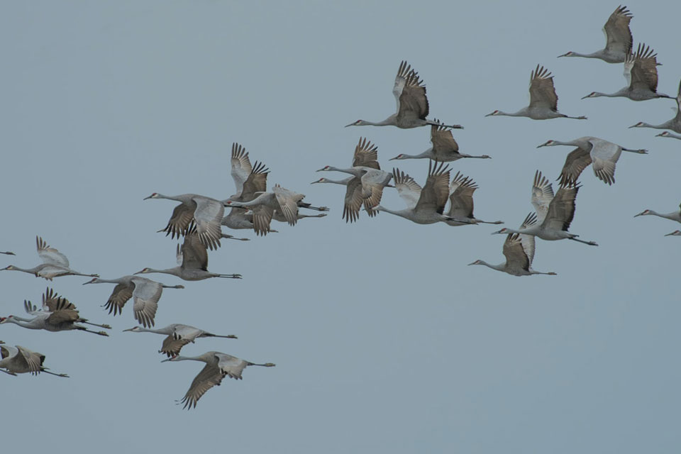 A photograph of cranes flying
