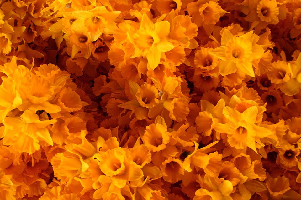 """Mohammadali F., """"Daffodils,"""" Tehran, 2009"""