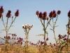 "Alex Ringer, ""Thistle-Garden (Cynara syriaca f. alba),"" Jezreel Valley, Israel"