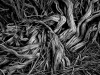 A black and white photograph of tangled roots at the base of a tree
