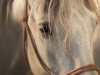 A close up of a white horse's head