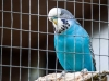 A blue parakeet looks at the camera from behind the wire of his cage