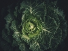 A darkly lit shot from above looking down into a blooming cabbage
