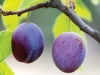 Two ripe plums hang from a tree branch