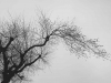 A black and white photograph of a bare tree limb against a grey sky