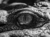 A black and white photograph close up on a crocodile's eye