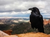 A photograph of a raven in the foreground and rolling landscape in the blurry distance