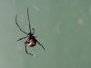A redback spider hovers on a near-invisible web