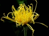 "Jack Wolf, ""Yellow spider mum,"" 2009"