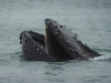 A whale surfacing, mouth agape