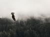 An eagle flies a tree line against a grey sky