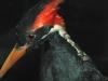 A photograph of an ivory-billed woodpecker