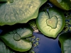 Water lilies floating on the surface of blue water