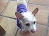 A dog in a purple turtleneck sweater