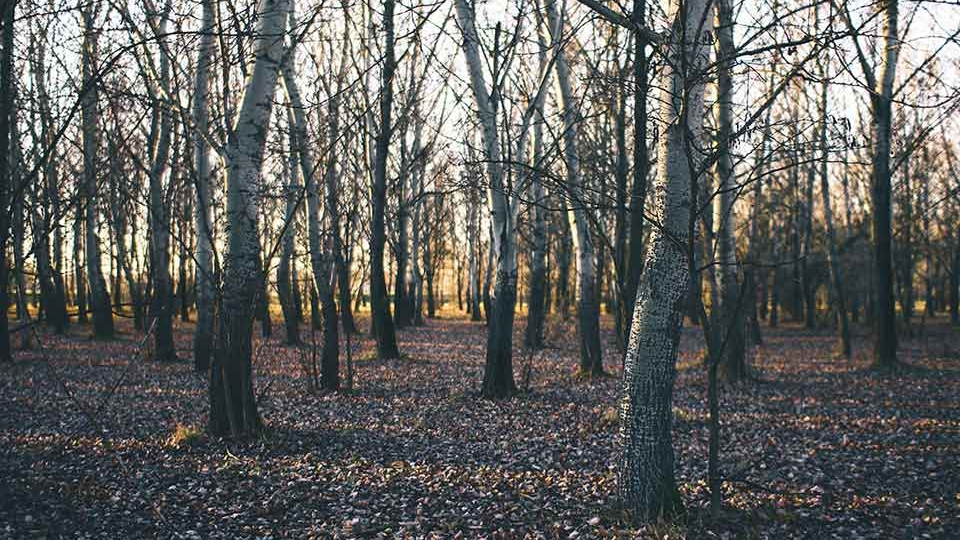 A forest, its floor littered with dead leaves