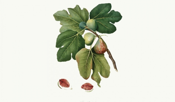 A scientific drawing of a fig cluster