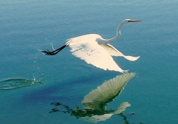 Egret flying over blue water with it's reflection beneath it