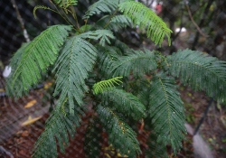 A close up photograph of the fronds of a Serianthes nelsonii sapling