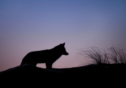 A silhouette of a coyote against a rose-tinted dawn sky