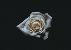 A photograph of a white rose all but enveloped in darkness