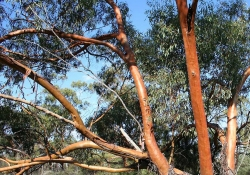 Branches of a York gum tree intertangle against a blue sky