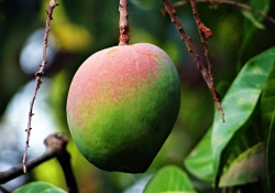 A half-ripe mango, tipped in pink on top gradating toward green at the bottom