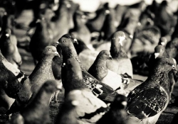 A black and white photographs of pigeons flocking on the ground