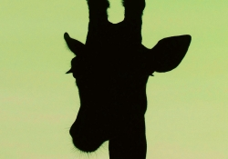 A silhouette of a giraffe's head on a lime green background