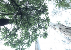 A photograph looking up into the canopy of a eucalyptus grove