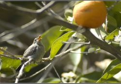 A small bird perches in an orange tree