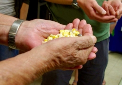 A pair of weathered hands cupping corn grains