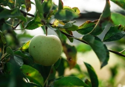 A green apple hanging from a tree branch